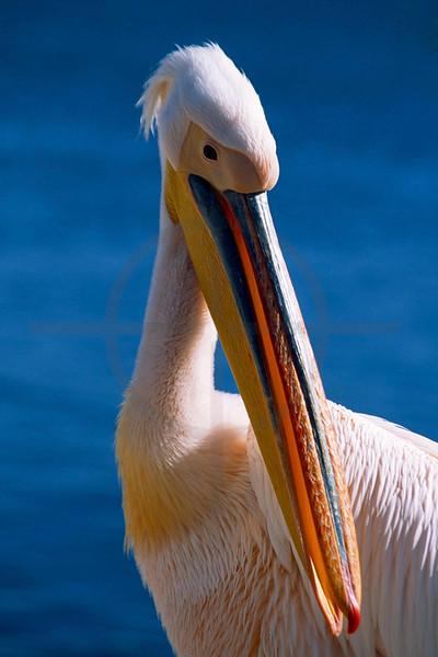 Great white pelican, Walvis Bay, Namibia