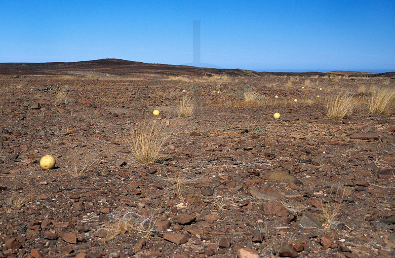 Namib tsammas in rocky desert, Namibia
