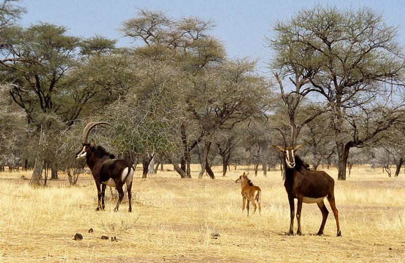 Sable antelope family, Omaruru Game Lodge, Namibia