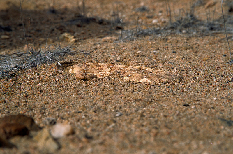 Horned adder, Welwitschia Plains, Namib Desert, Namibia