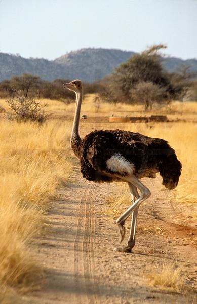 Ostrich crossing a road, Omaruru Game Lodge, Namibia