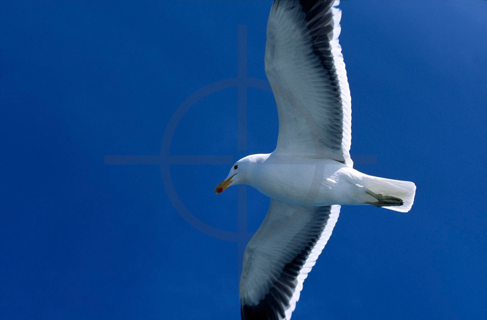 Kelp gull in flight, Atlantic Ocean near Walvis Bay, Namibia
