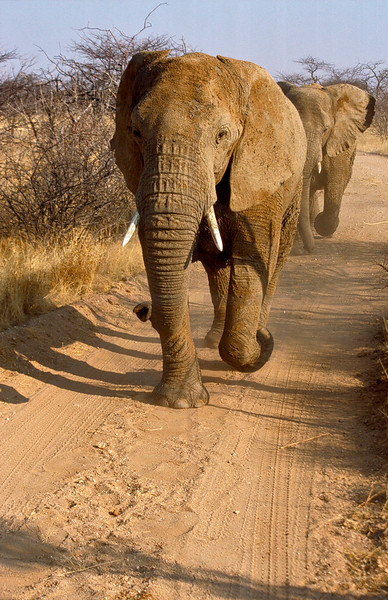 African elephants running, Omaruru Game Lodge, Namibia