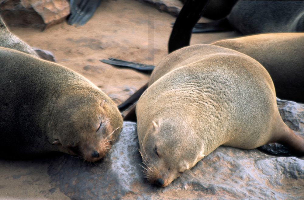 Brown fur seals sleeping, Cape Cross, Namibia