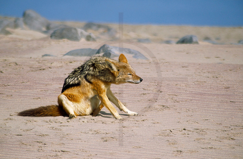 Black-backed jackal scratching itself, Cape Cross, Namibia
