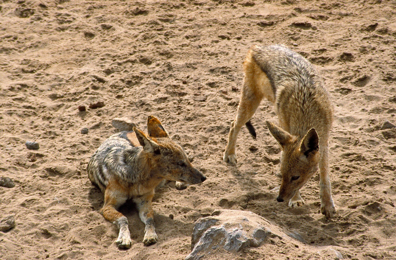 Two young black-backed jackals, Cape Cross, Namibia