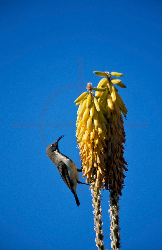 Dusky sunbird feeding on aloe flowers, Namib Naukluft National Park, Namibia