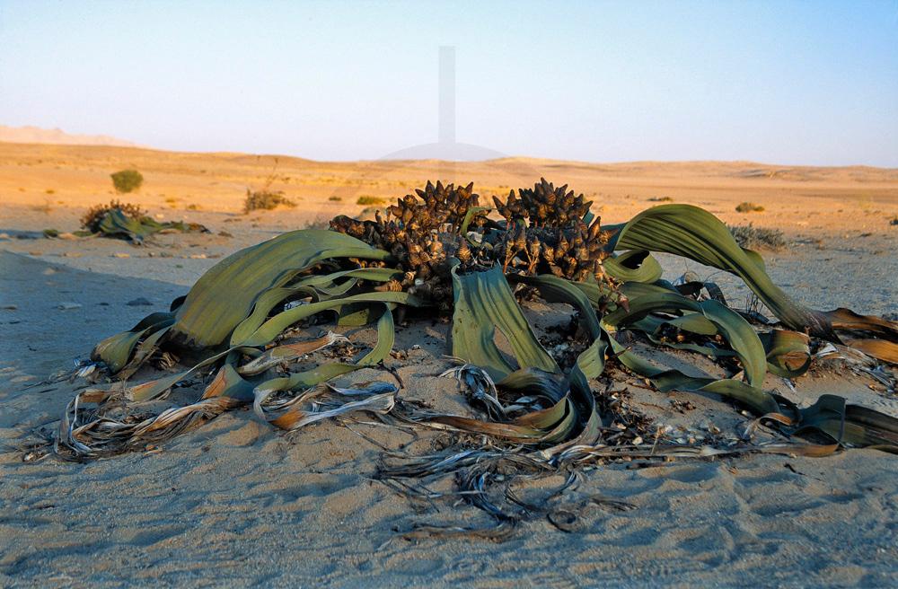 Welwitschia mirabilis, Welwitschia Plains, Namib Desert, Namibia