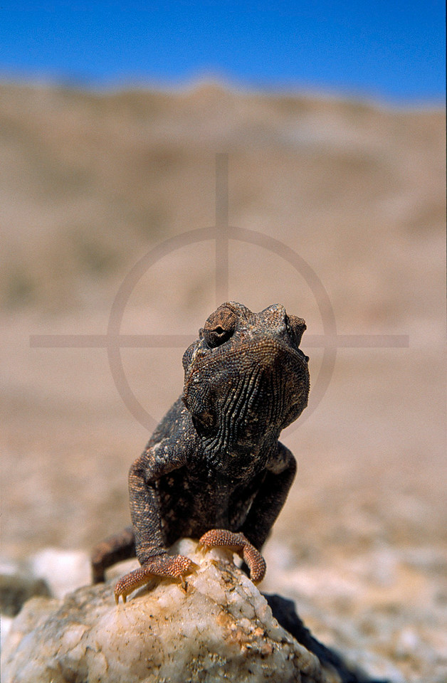 Namaqua chameleon, Welwitschia Plains, Namib Desert, Namibia