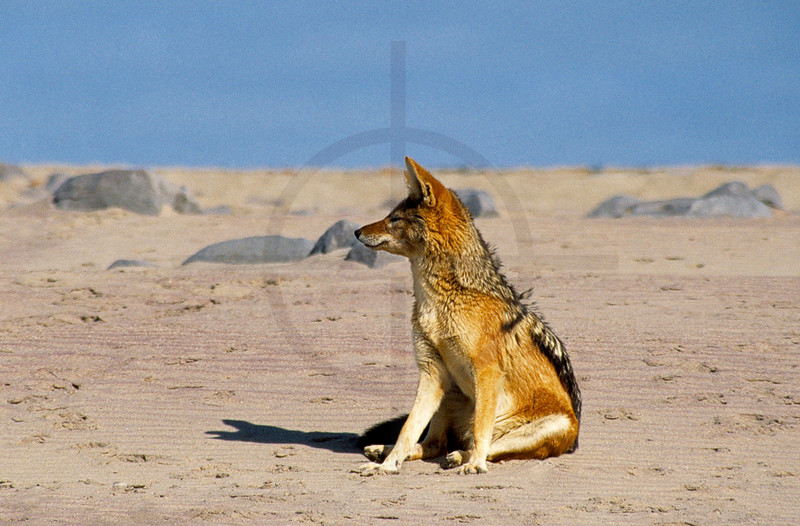 Black-backed jackal sitting on the beach, Cape Cross, Namibia