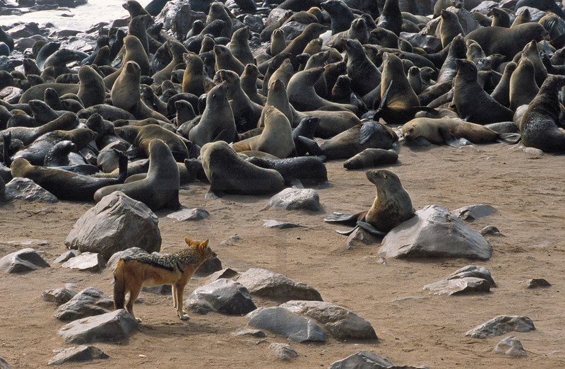 Black-backed jackal at a brown fur seal colony, Cape Cross, Namibia
