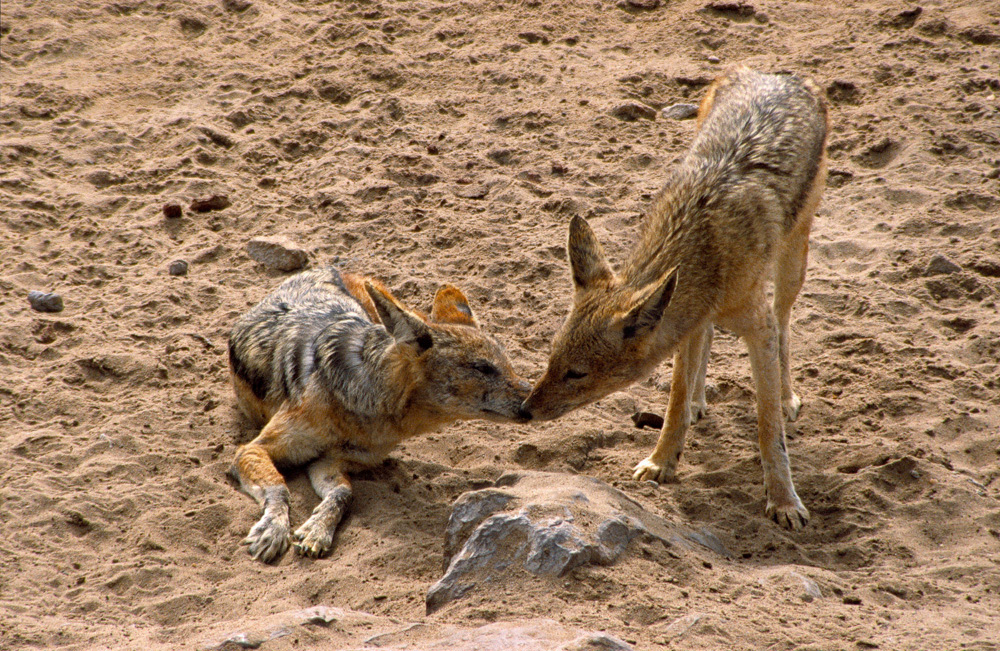 Two young black-backed jackals sniffing at each other, Cape Cross, Namibia