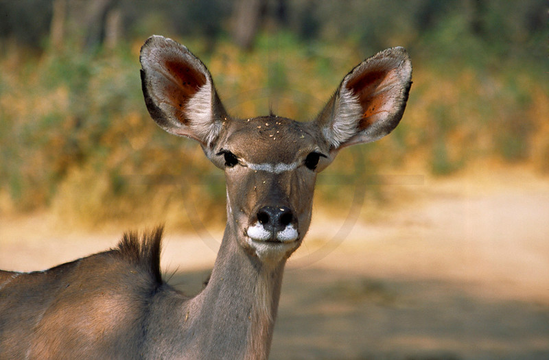Female greater kudu, Omaruru Game Lodge, Namibia