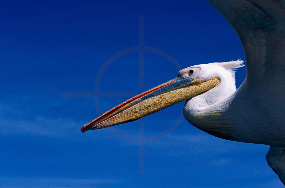 Great white pelican in flight, Atlantic Ocean near Walvis Bay, Namibia