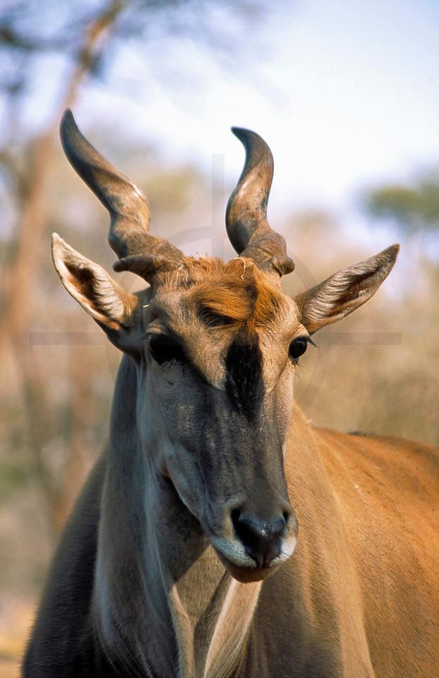Head of common eland, Omaruru Game Lodge, Namibia