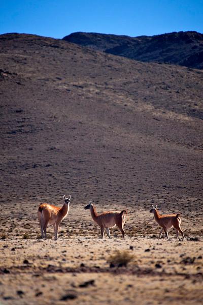 Guanacos, Parque Nacional Los Cardanos, Salta, Argentina