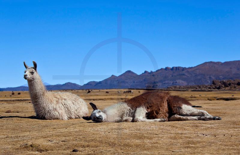 Alpacas at rest,  Jijiri, Bolivia
