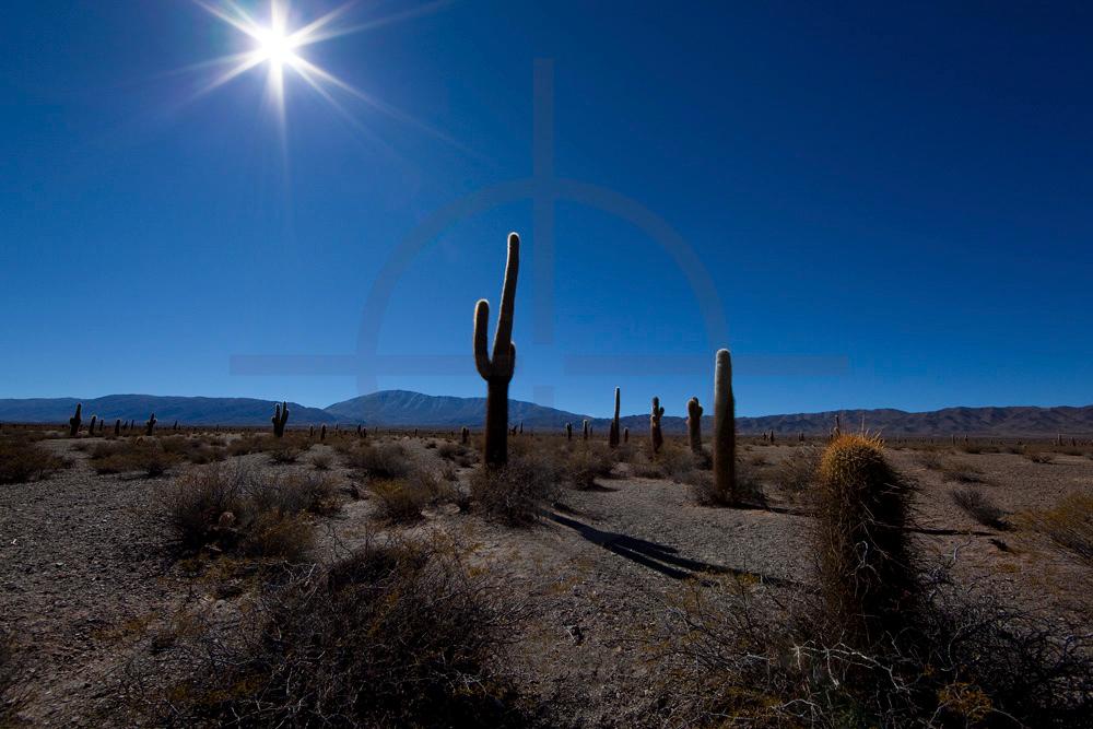 Field of pasacana cacti, Parque Nacional Los Cardones, Salta, Argentina