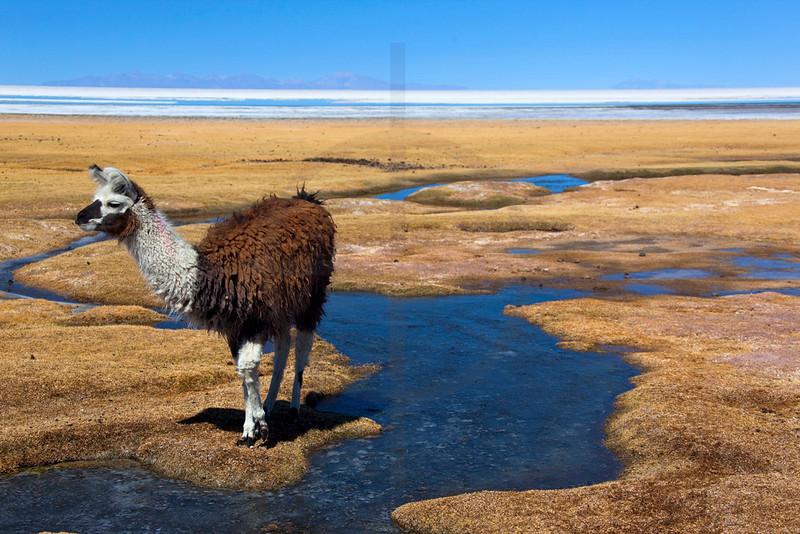 Alpaca on the edge of Salar de Uyuni, Bolivia