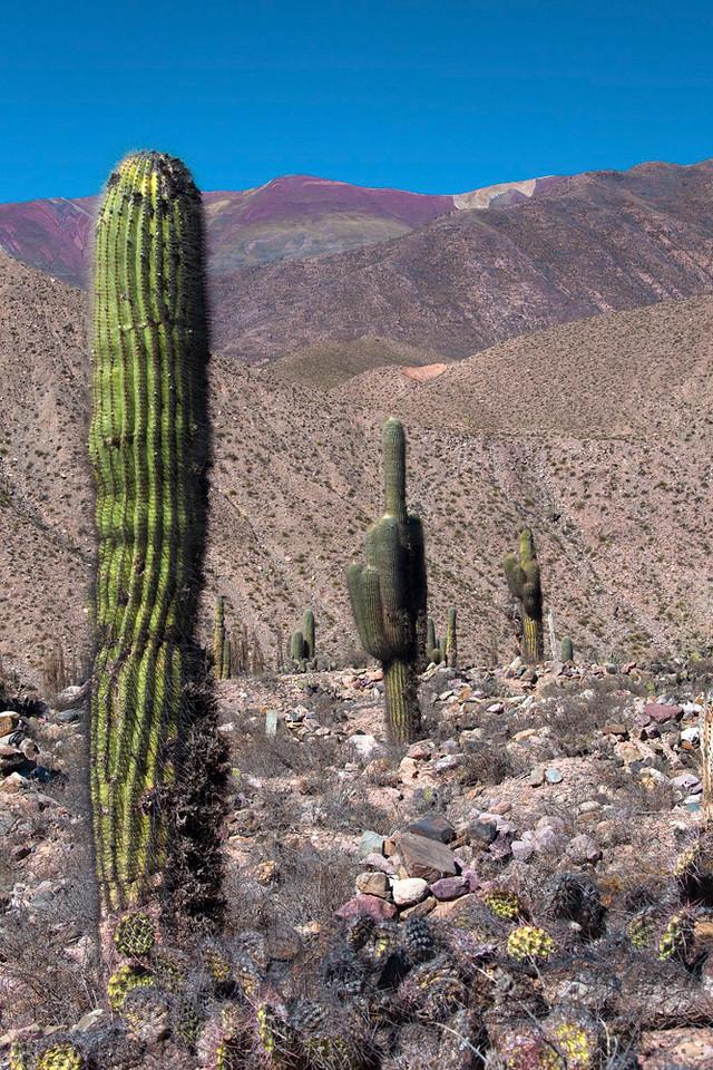 Pasacana cacti on colorful mountain slopes, RA 9 near Tilcara, Jujuy, Argentina