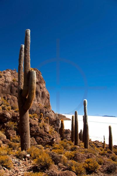 Pasacana cacti, Isla de los Pescadores, Salar de Uyuni, Potosí, Bolivia