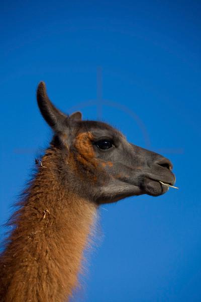Close up of lama head, Andes, Bolivia