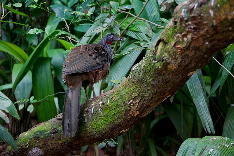 Spix's guan, Iguazu bird park, Paraná, Brazil