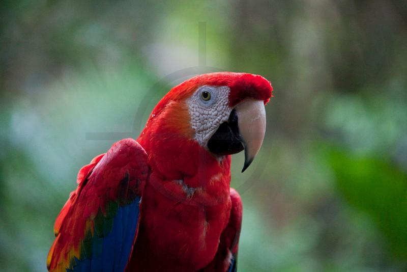 Scarlet macaw, Iguazu bird park, Paraná, Brazil