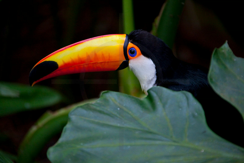 Toco toucan, Iguazu bird park, Paraná, Brazil