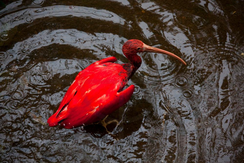 scarlet ibis bathing, Iguazu bird park, Paraná, Brazil