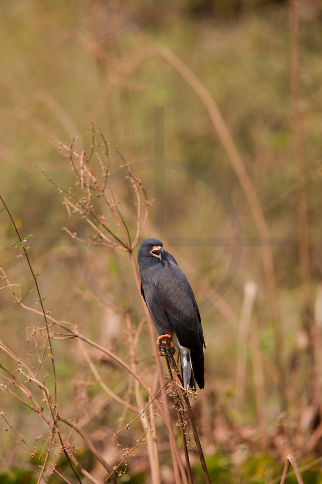 Snail kite (male) screaming, Pantanal, Brazil