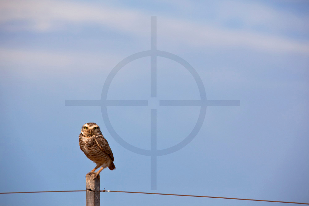 Burrowing owl on a fence,  Chapada dos Guimerães, Mato Grosso, Brazil
