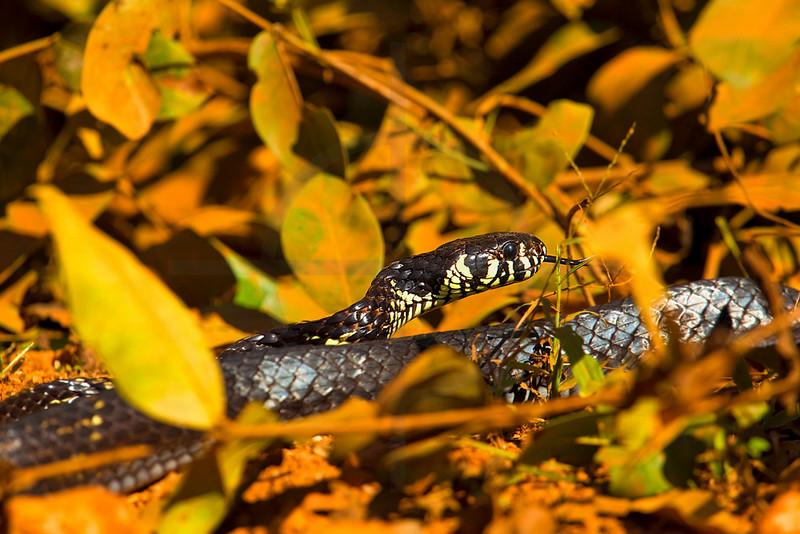 Tiger rat snake, Pantanal, Brazil