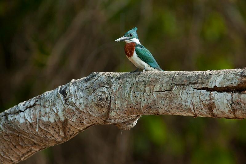 Amazon kingfisher (male), Pantanal, Brazil