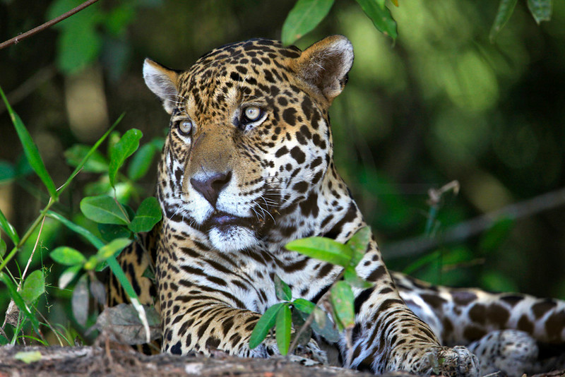 Jaguar (male) resting on the banks of Rio Cuiabá, Pantanal, Brazil