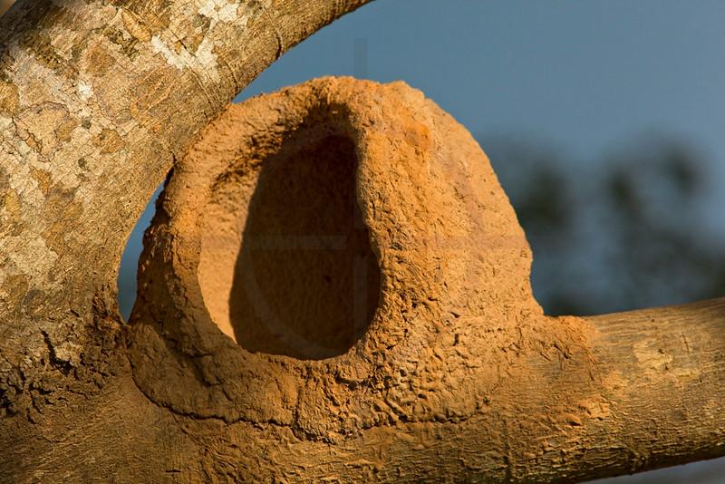 Nest of an ovenbird, Pantanal, Brazil