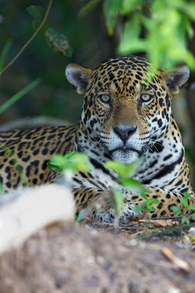 Jaguar (male) resting on the banks of Rio Cuiabá, Pantanal, Brazil-