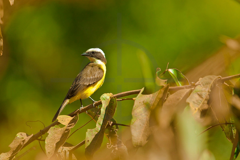 Rusty-margined flycatcher, Pantanal, Brazil