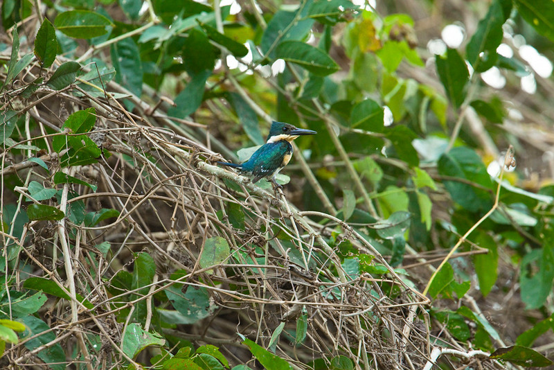 Green kingfisher (female), Pantanal, Brazil