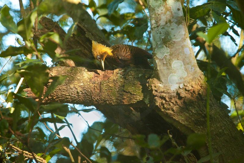Pale-crested woordpecker (female), Pantanal, Brazil