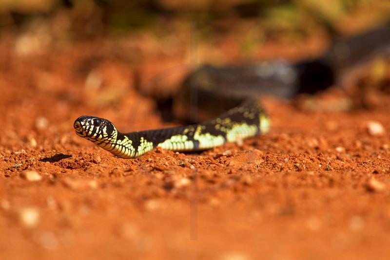 Tiger rat snake crossing the Transpantaneira, Pantanal, Brazil