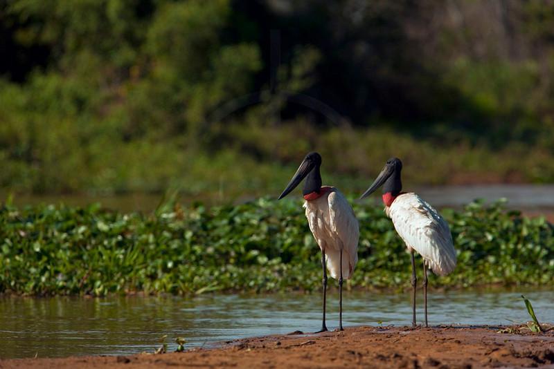Jabirús, Pantanal. Brazil