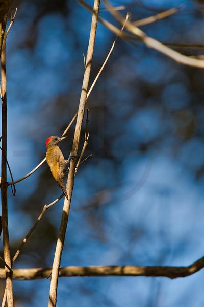 Little woodpecker (male), Pantanal, Brazil