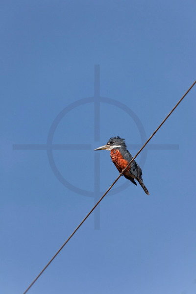 Ringed kingfisher (male) perching on electricity line along the Transpantaneia, Pantanal, Brazil