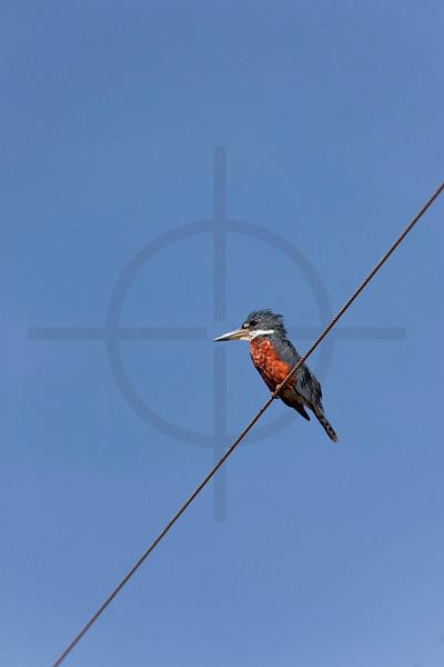Ringed kingfisher (male) perching on electricity line along the Transpantaneia, Pantanal, Brazil
