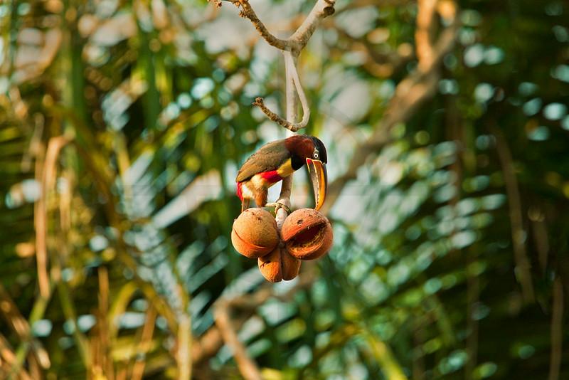 Chestnut-eared araçari eating, Pantanal, Brazil