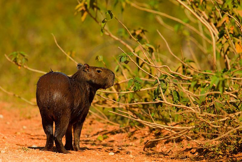 Capybara on the side of the Transpantaneira, Pantanal, Brazil