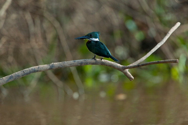 Amazon kingfisher (male), Pantanal, Brazil