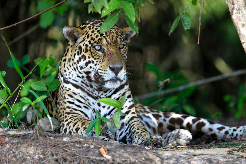 Jaguar (male) resting on the banks of Rio Cuiabá, Pantanal, Brazil