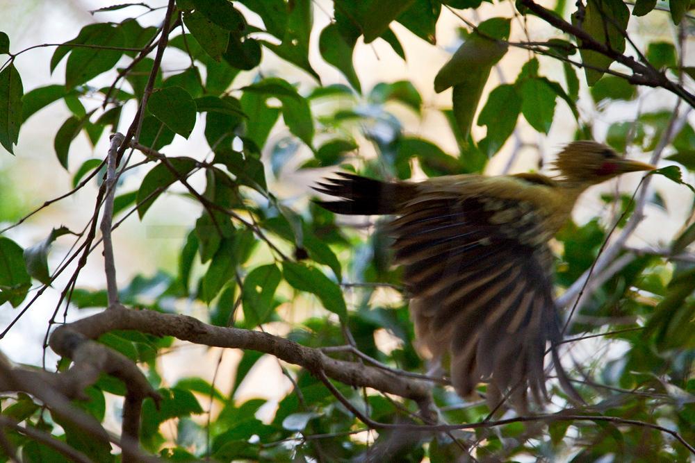 Cream-colored woodpecker (male) in flight, Pantanal, Brazil